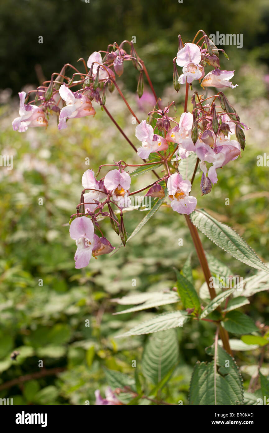 Himalayan Balsam flowers in bloom, Wales UK - Stock Image