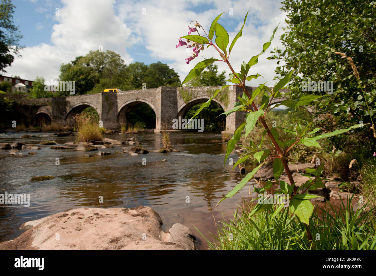 Himalayan Balsam plant growing by Old bridge over the River Usk at Llangynidr, Powys, Wales UK - Stock Image