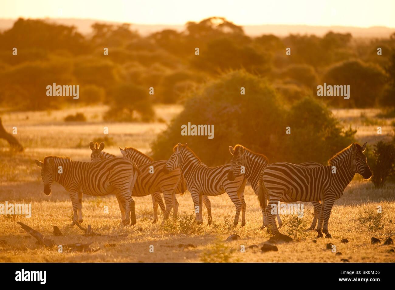 Burchell's zebra at sunset (Equus burchellii), Mashatu Game Reserve, tuli block, Botswana Stock Photo