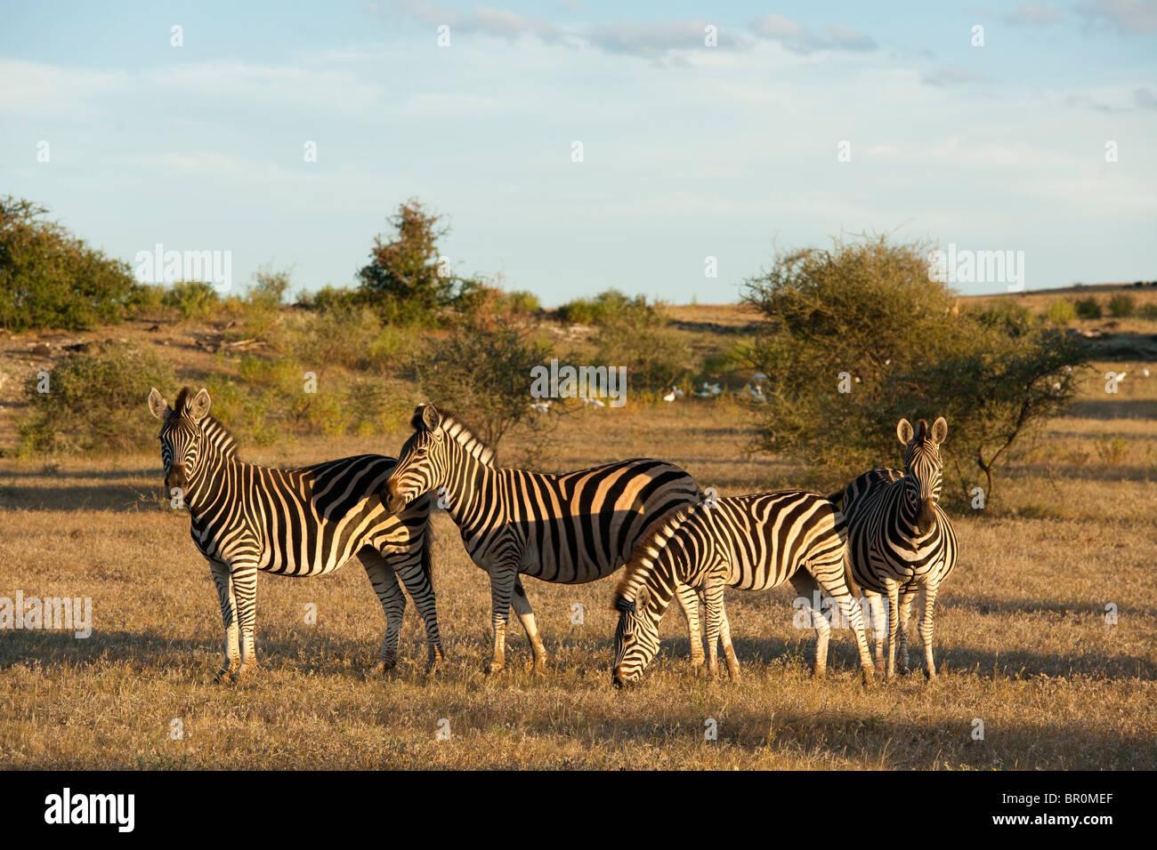 Burchell's zebra (Equus burchellii), Mashatu Game Reserve, tuli block, Botswana - Stock Image