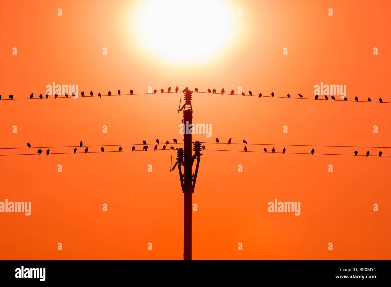 birds sitting on wires in sunset - Stock Image