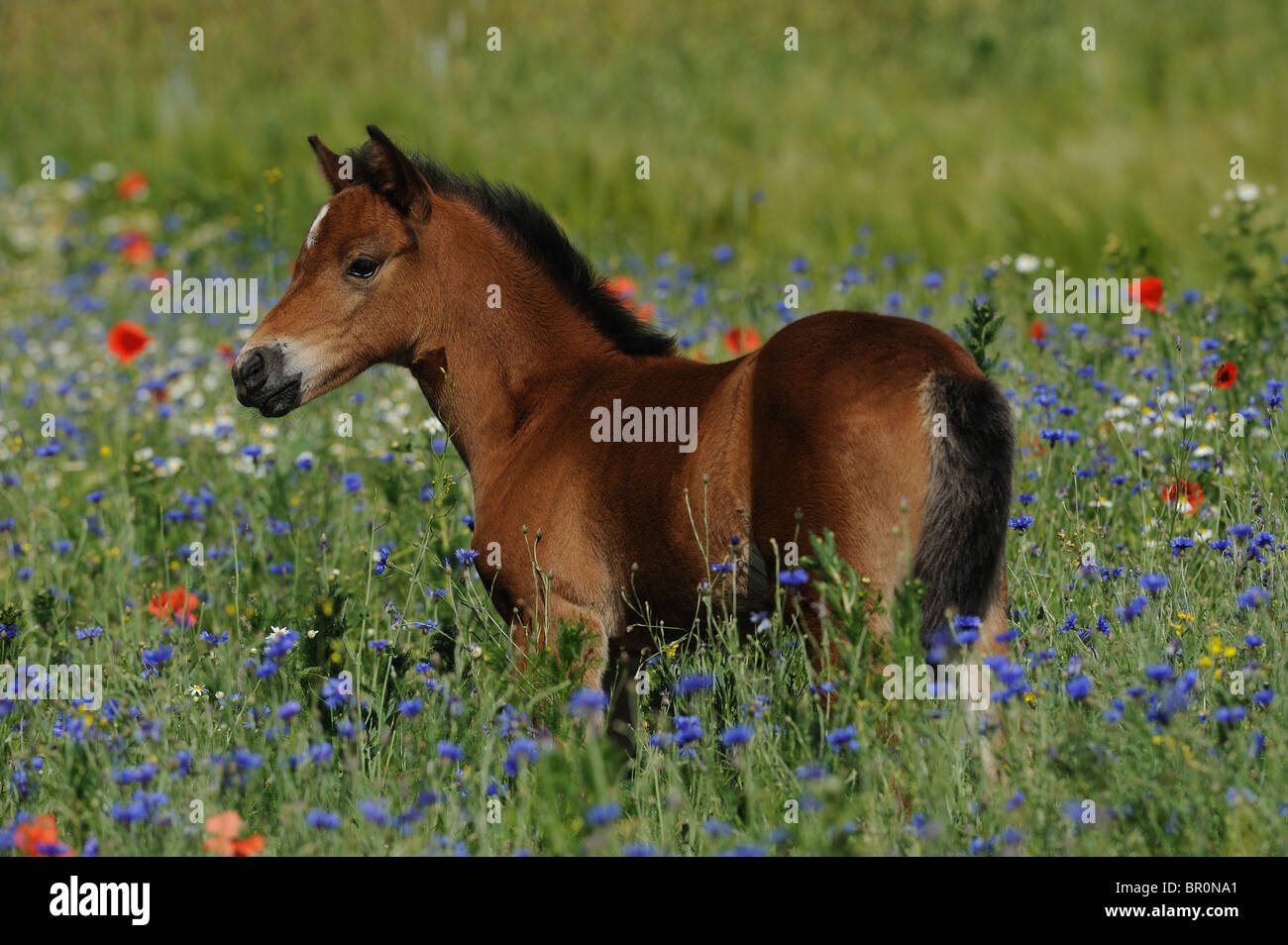 German Riding Pony (Equus ferus caballus). Foal standing in a flowering meadow. Stock Photo