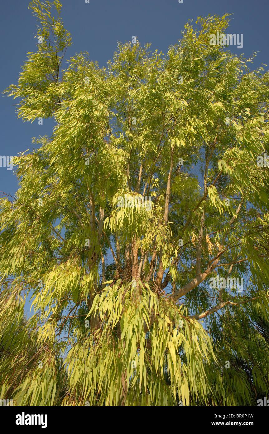 Eucalyptus tree and vivid blue sky - Stock Image