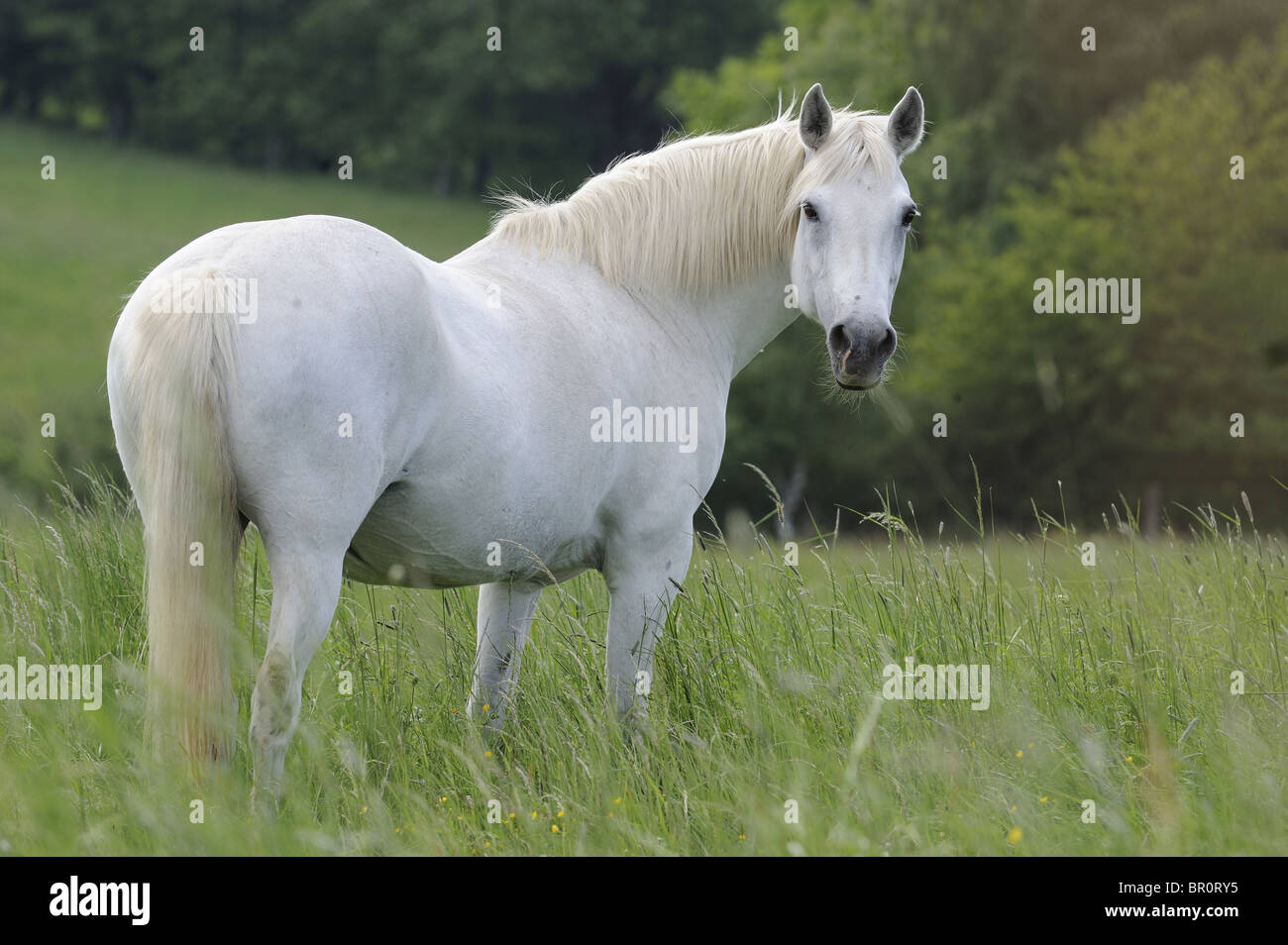 Connemara Pony (Equus ferus caballus). Gray mare standing on a meadow. Stock Photo