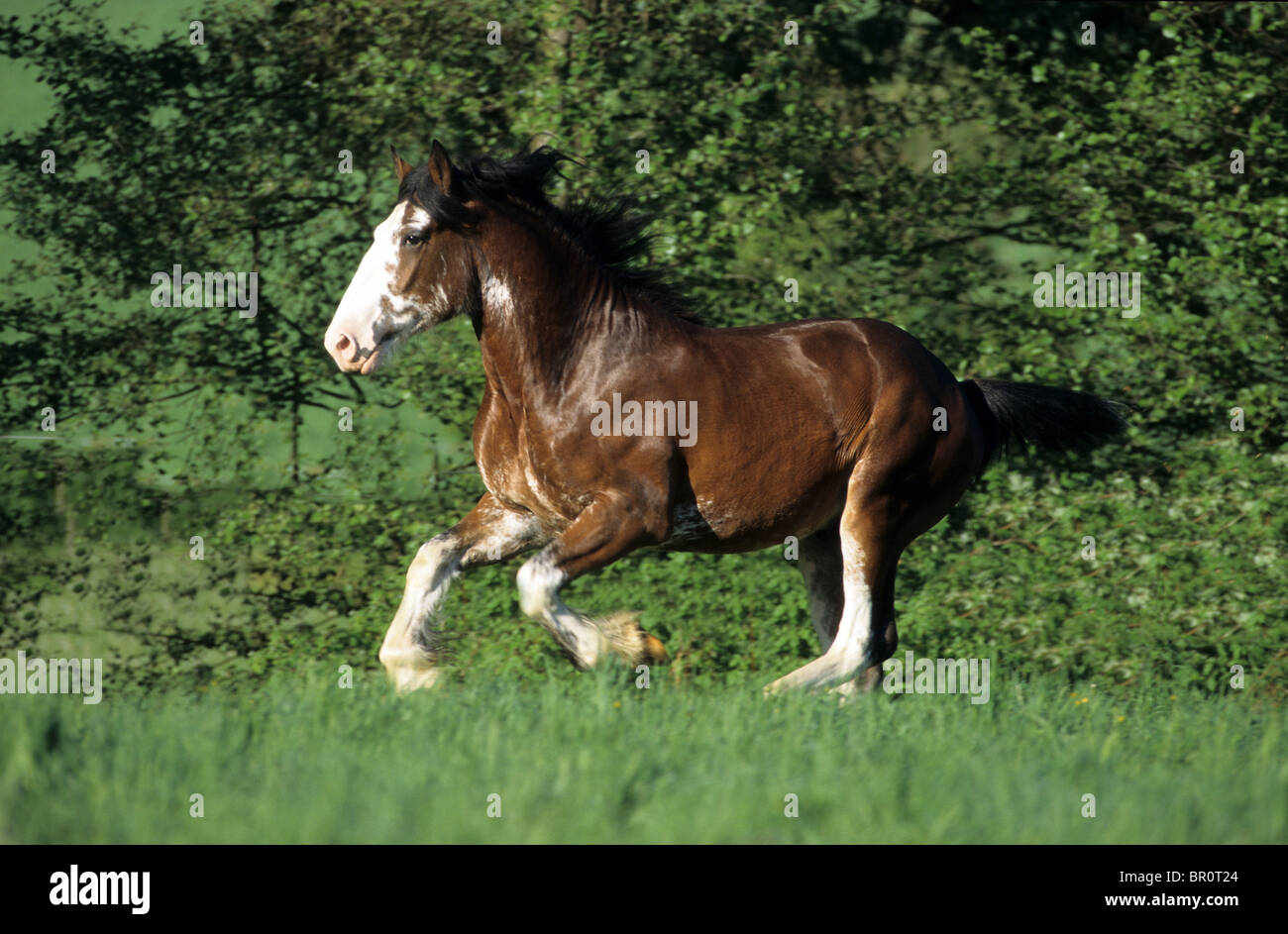 Shire Horse (Equus ferus caballus). A gelding at a gallop on a meadow. - Stock Image