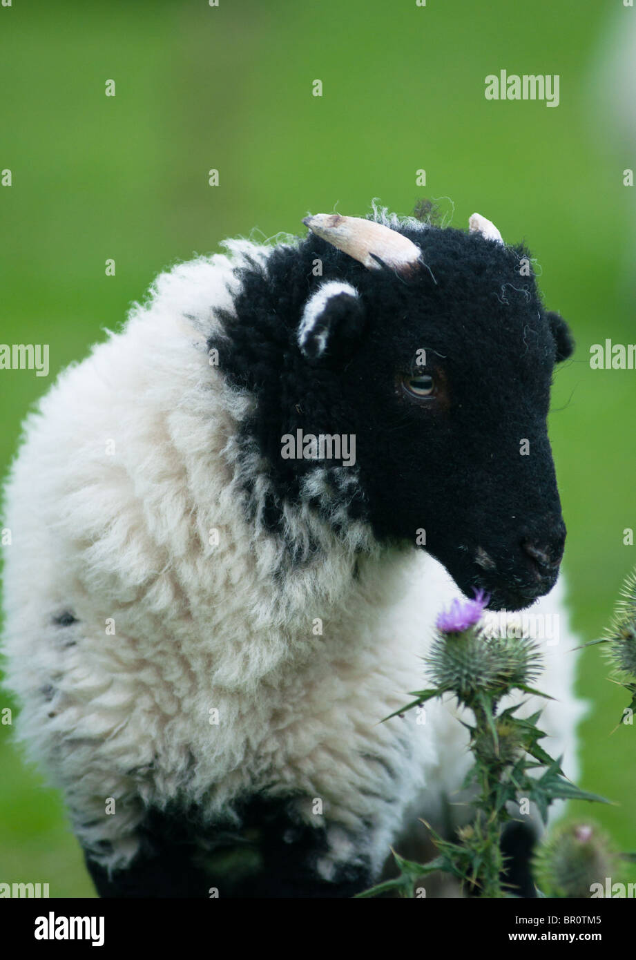 A black headed lamb smells the wild flowers in the Peak district. England. Stock Photo