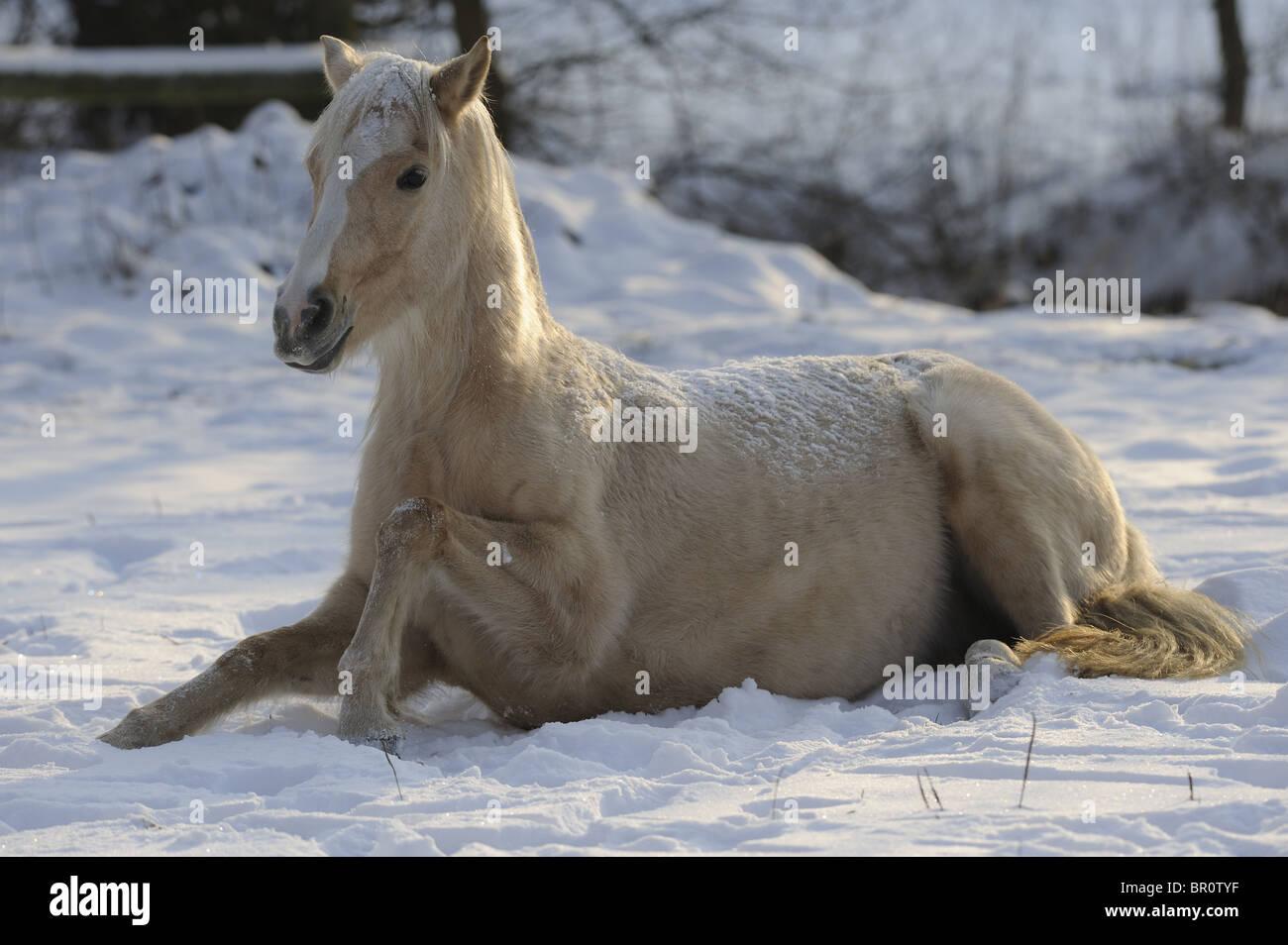 German Riding Pony (Equus ferus caballus). Mare lying in snow. - Stock Image