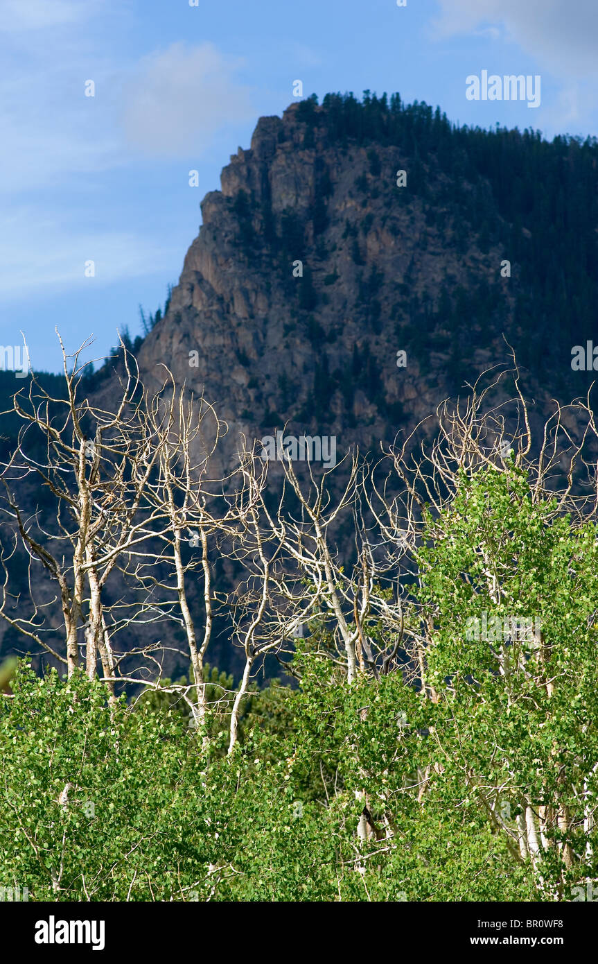Aspen trees dying in Colorado - Stock Image