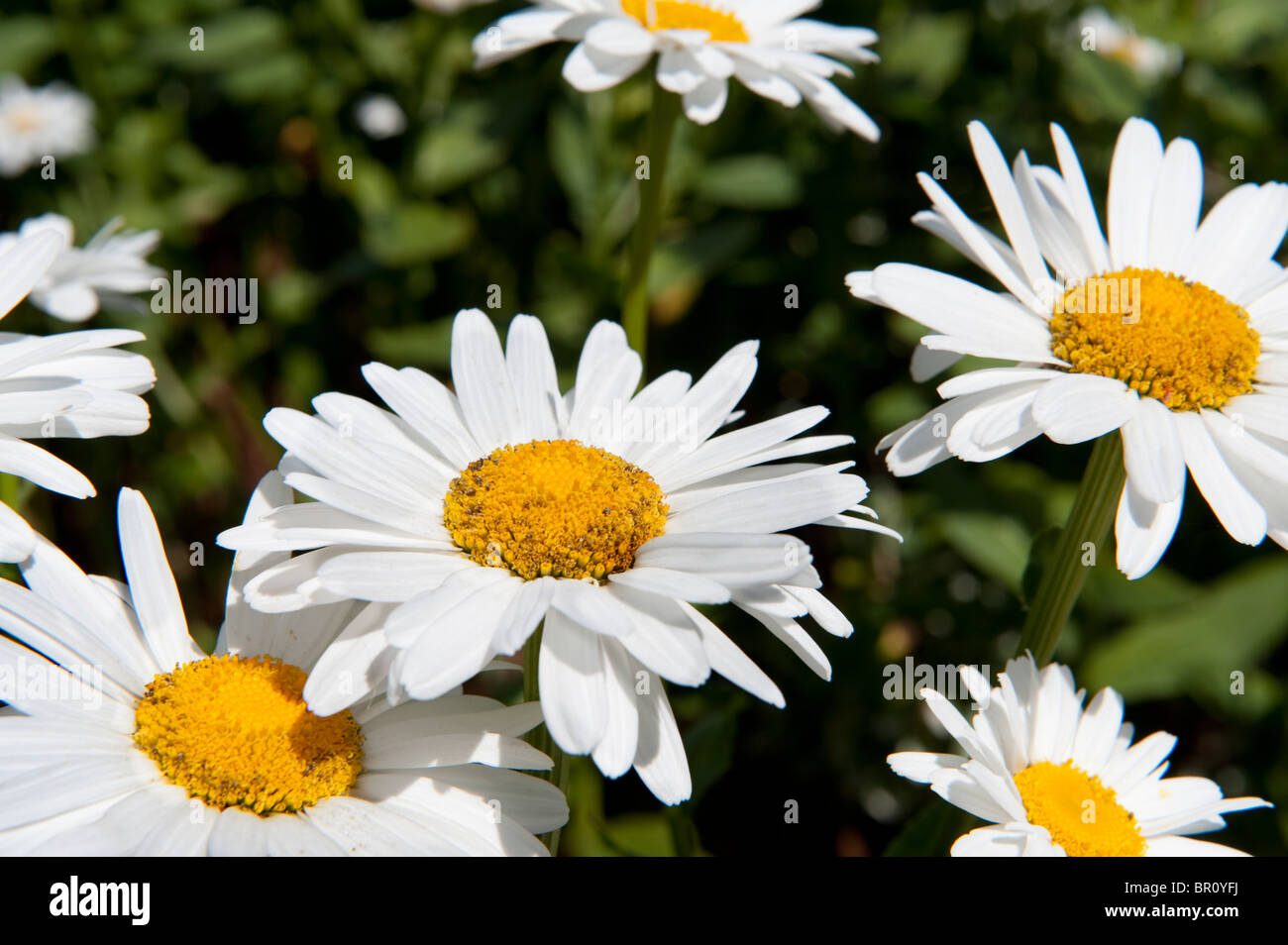 Daisy type flower stock photos daisy type flower stock images alamy close up of pretty daisy type flowers in summer stock image izmirmasajfo