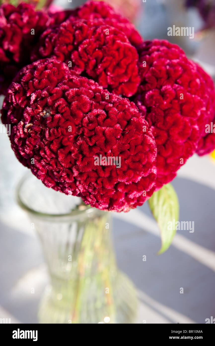 closeup of red cockscomb flower in a vase - Stock Image