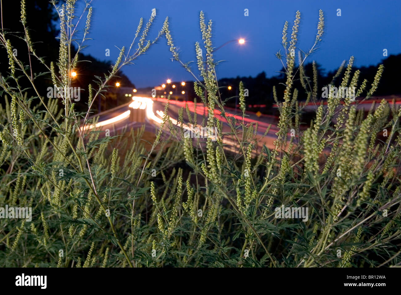 A ragweed plant grows along the Washington Beltway in DC. Stock Photo