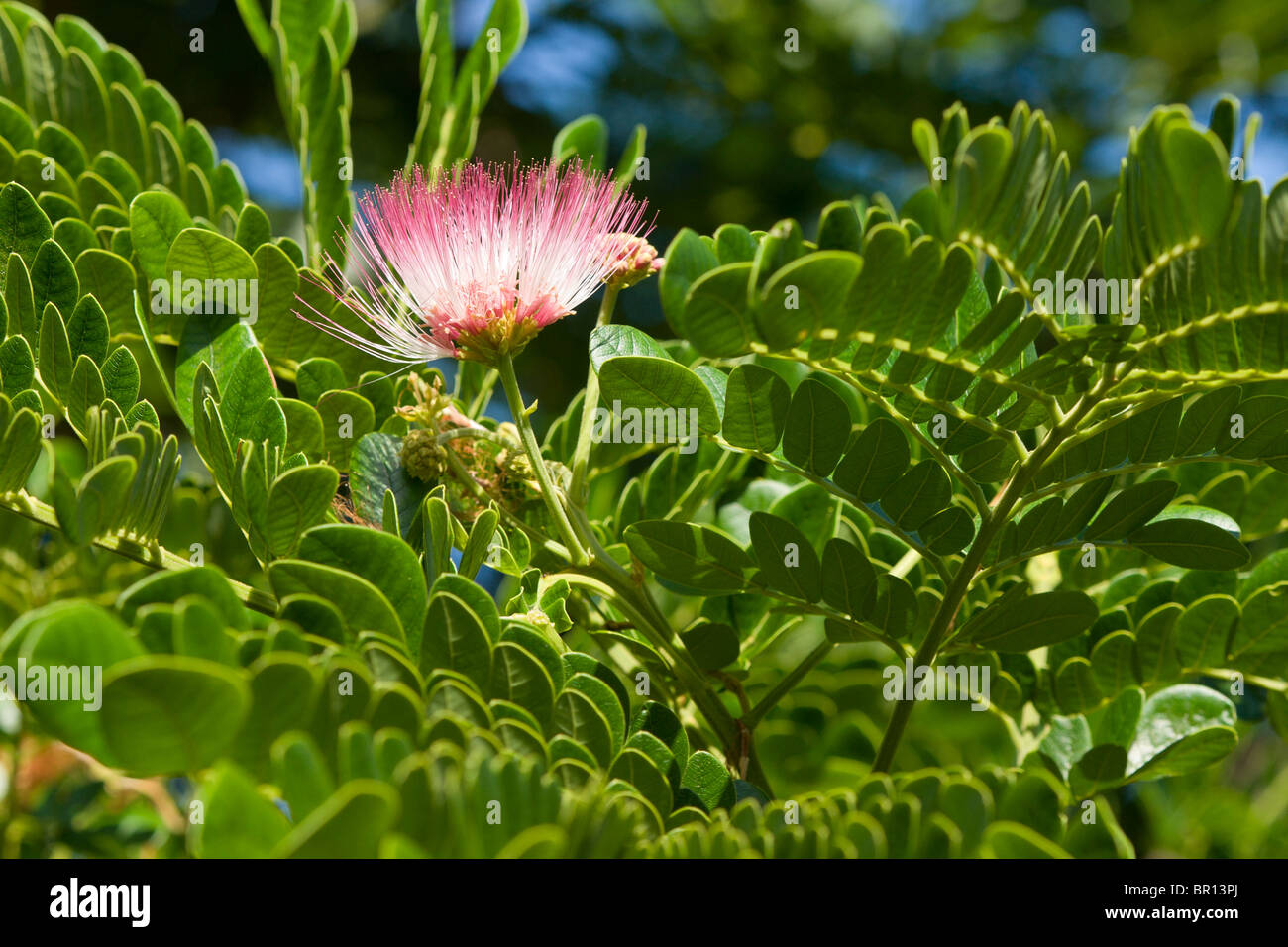 Pink ohia lehua flower surrounded by the trees leaves the hawaiian pink ohia lehua flower surrounded by the trees leaves the hawaiian ohia flower is sacred to pele izmirmasajfo