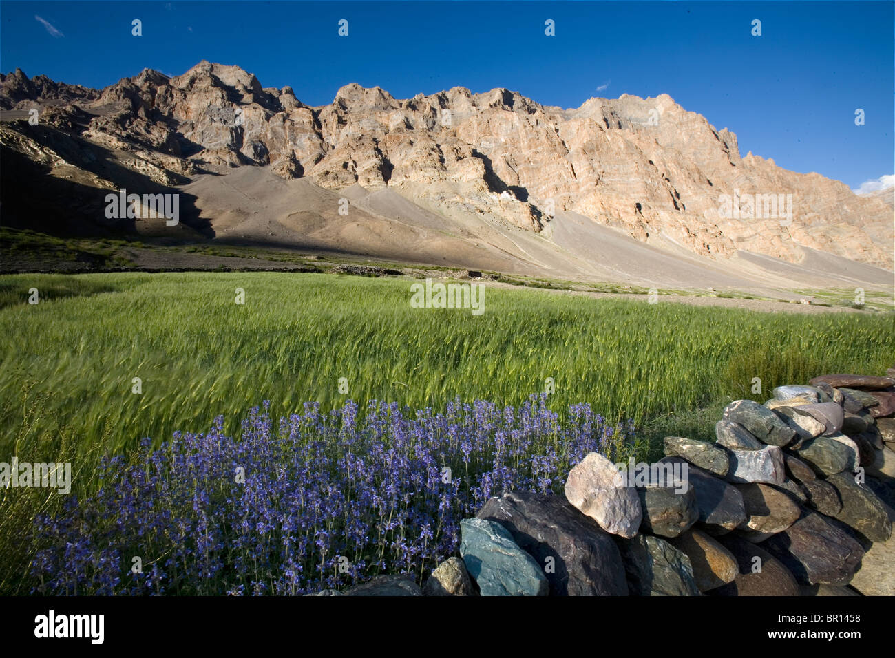 Barley field and purple wildflowers lie in stark contrast to desert mountains in background, Ladakh, northern India. - Stock Image
