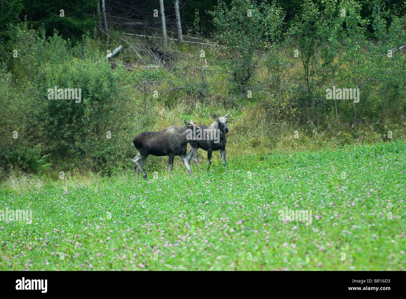 Two young elks on the forest margin - Stock Image