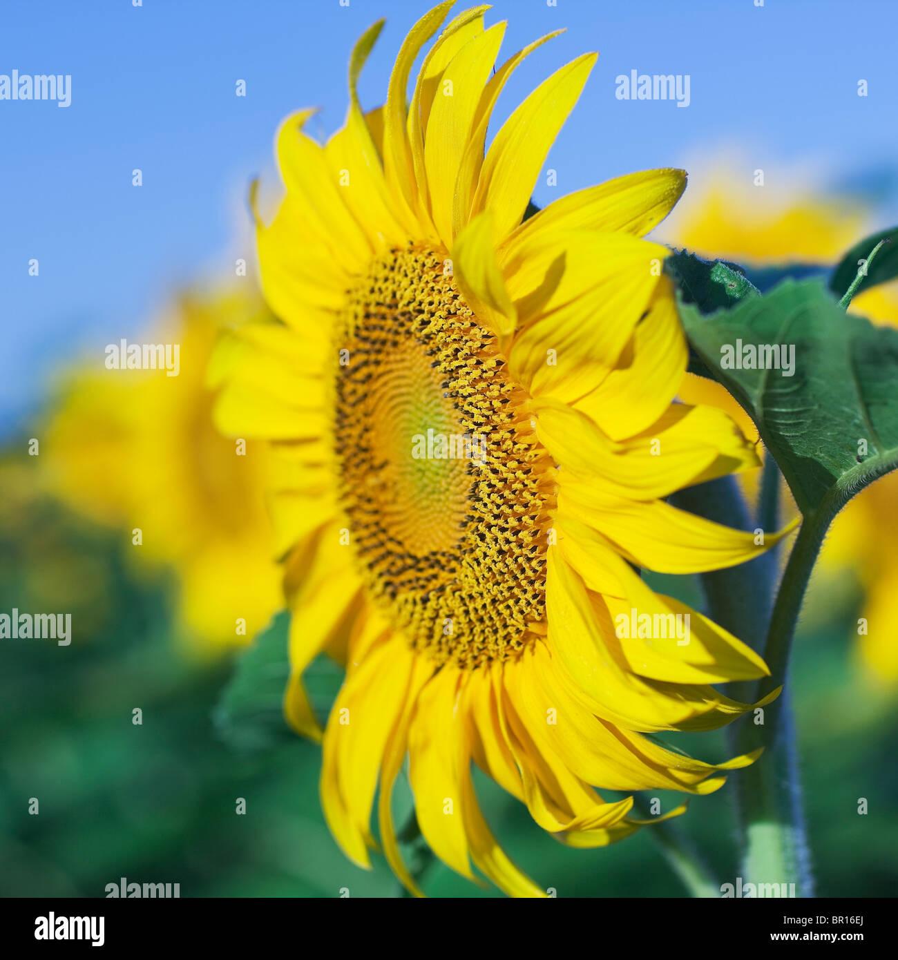 Sunflowers against blue sky, Manitoba, Canada - Stock Image