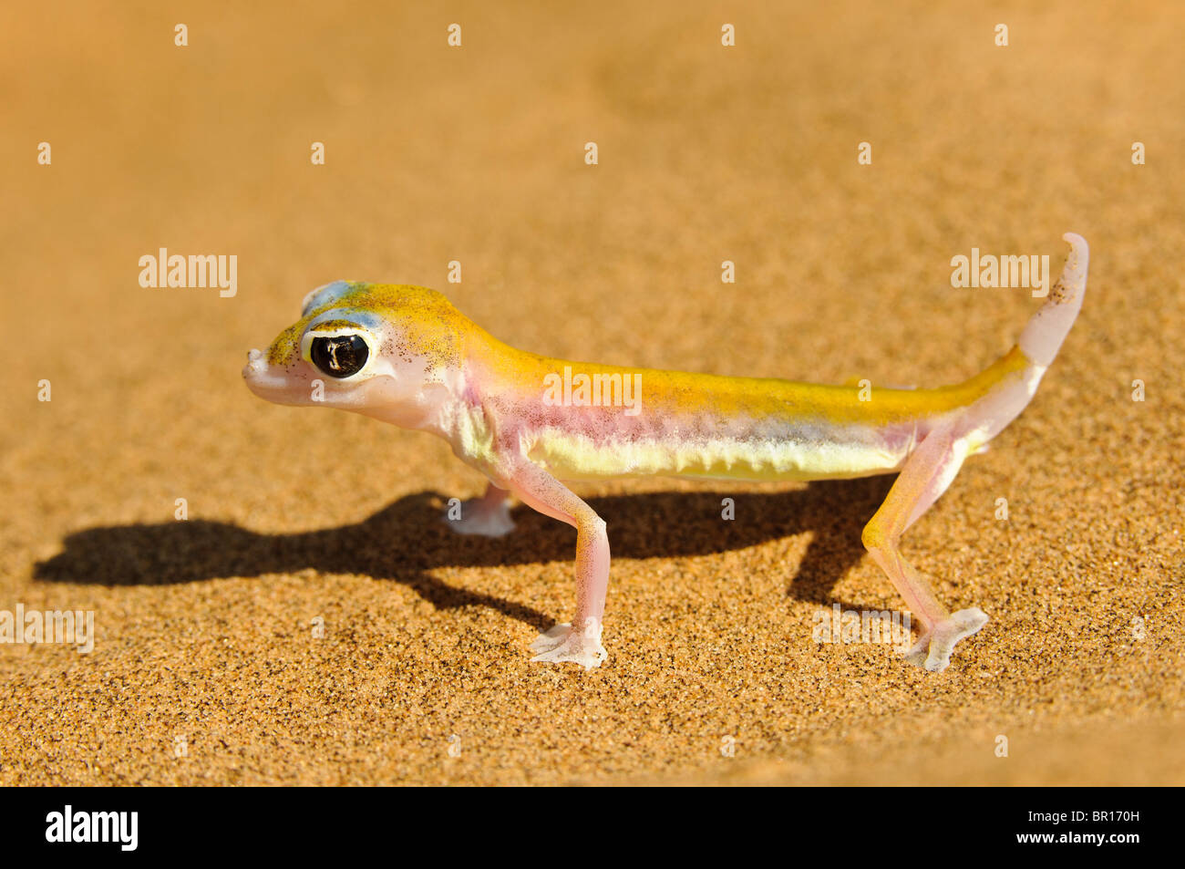 This is the nocturnal namib dune gecko. Also called palmato gecko. Stock Photo
