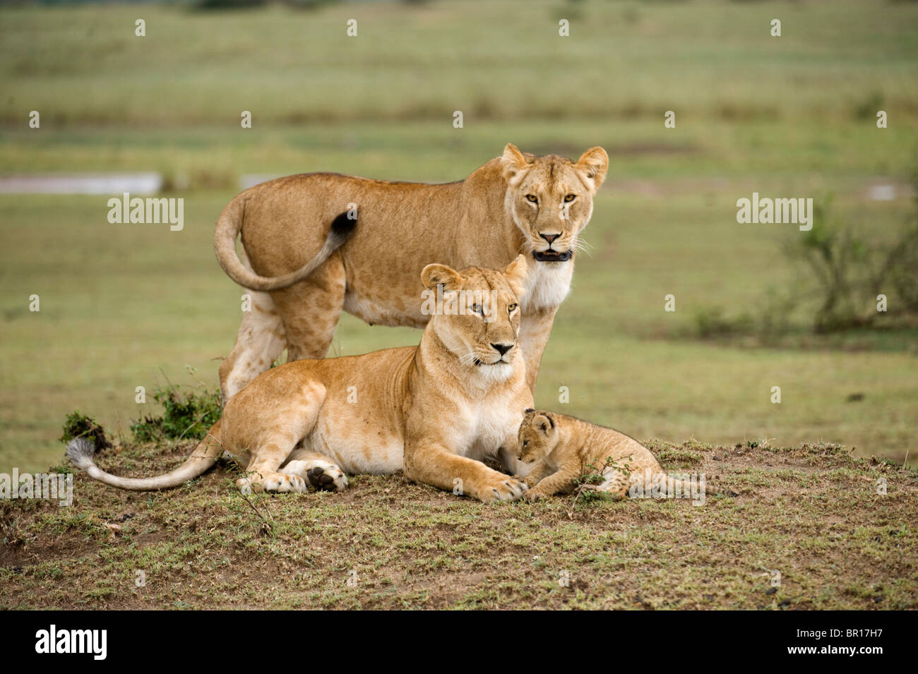 Lions with cub (Panthero leo), Serengeti National Park, Tanzania - Stock Image
