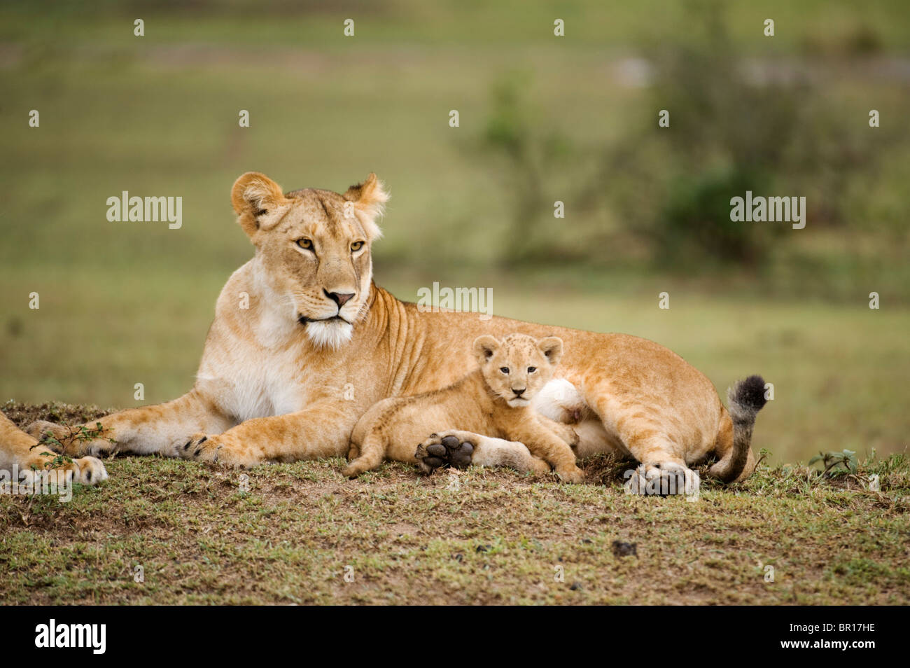 Lion with cub (Panthero leo), Serengeti National Park, Tanzania - Stock Image