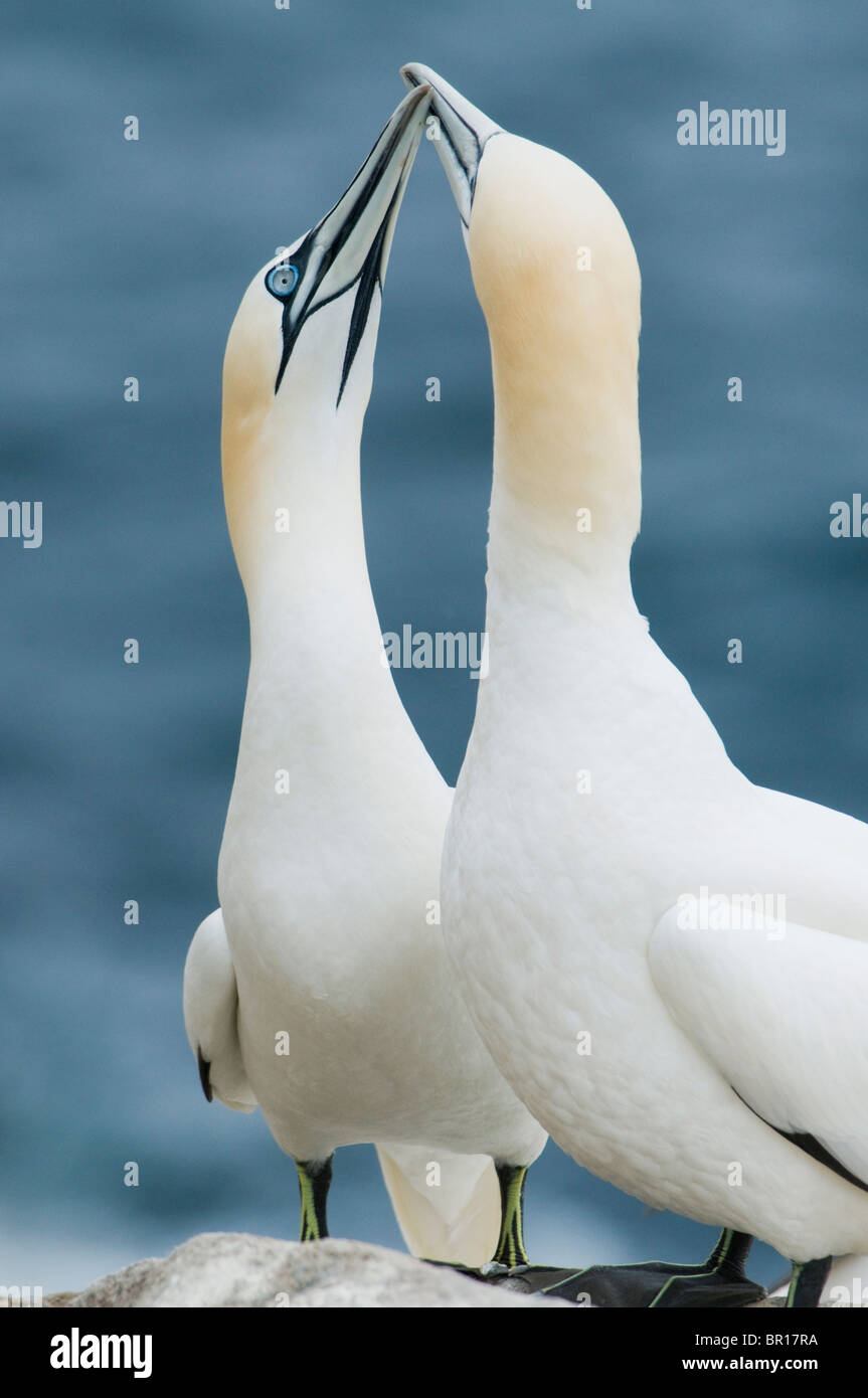 Northern Gannet (Sula bassana) Courtship 'dance', Saltee Islands, County Wexford, Ireland - Stock Image