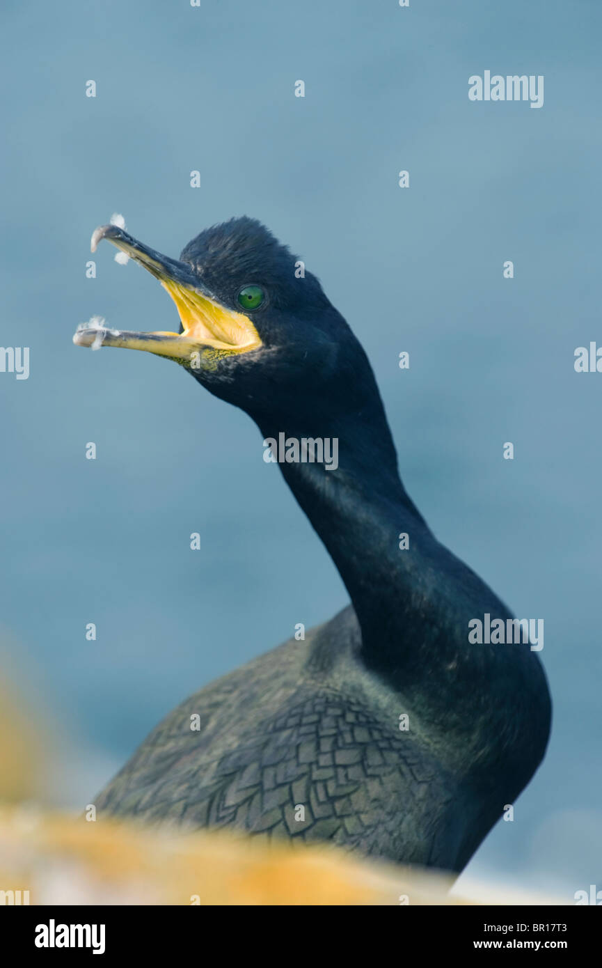 European Shag or Common Shag (Phalacrocorax aristotelis) Warning call, Saltee Islands, County Wexford, Ireland - Stock Image