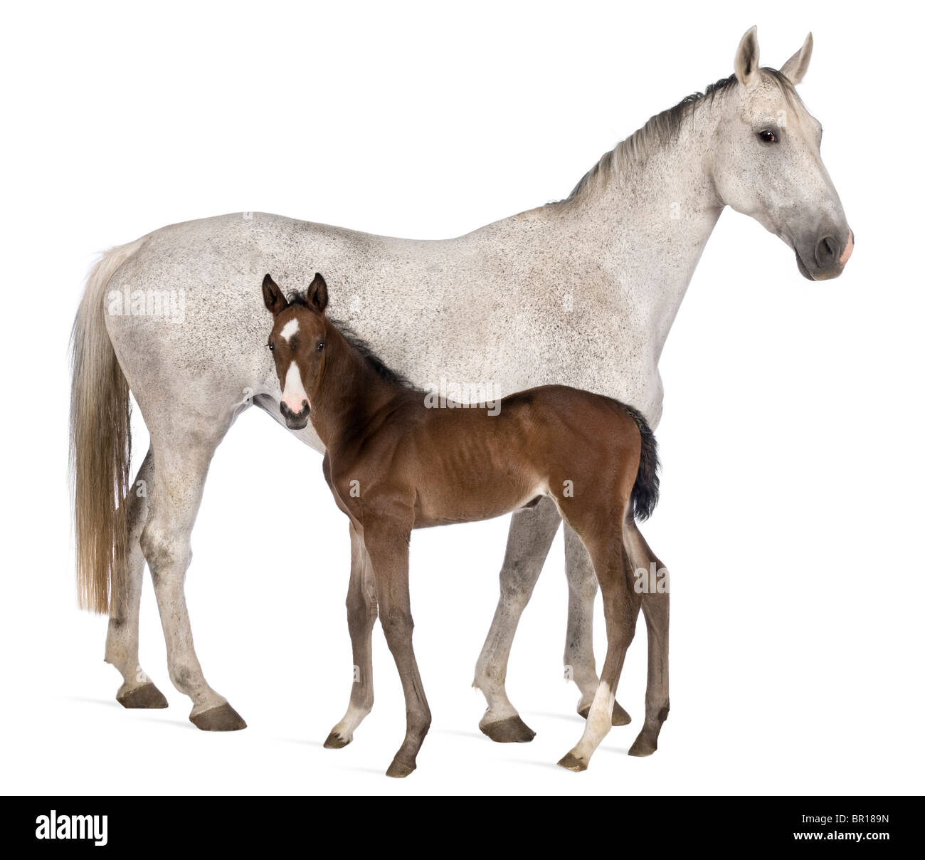 Mare and her foal, 14 years old and 20 days old, standing in front of white background - Stock Image