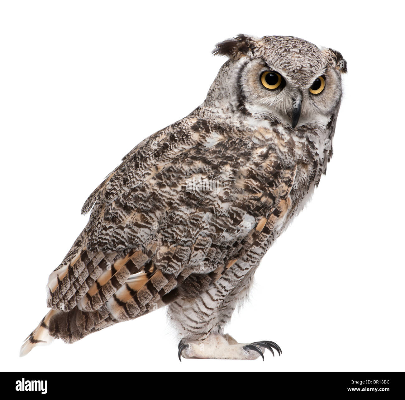 Great Horned Owl, Bubo Virginianus Subarcticus, in front of white background - Stock Image