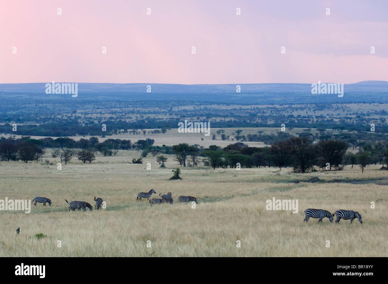 Burchell's zebra (Equus burchellii), Serengeti National Park, Tanzania - Stock Image
