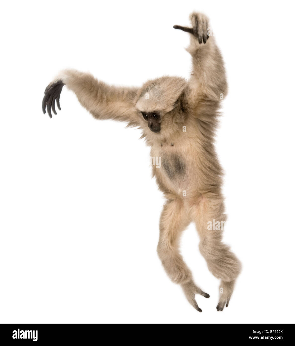 Young Pileated Gibbon, Hylobates Pileatus, 1 year old, leaping in front of white background - Stock Image