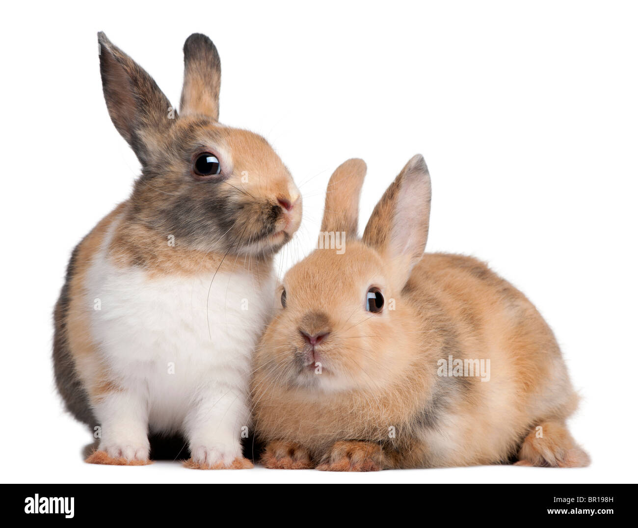 Portrait of European Rabbits, Oryctolagus cuniculus, sitting in front of white background - Stock Image