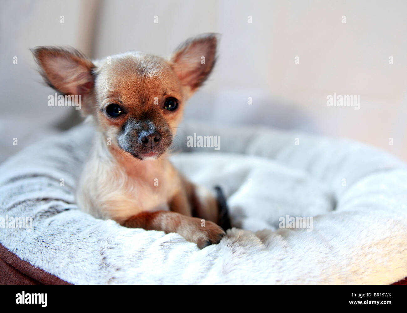 Mini Longhair Chihuahua Puppy With 12 Weeks Lying In Its Bed Stock
