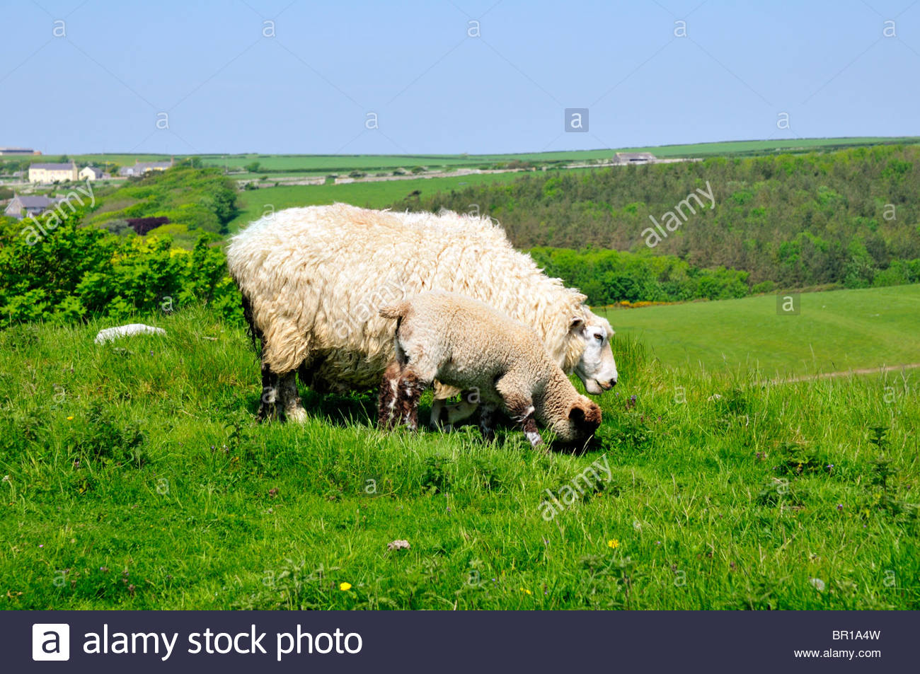 ewe and lamb grazing side by side on grass in the british countryside - Stock Image