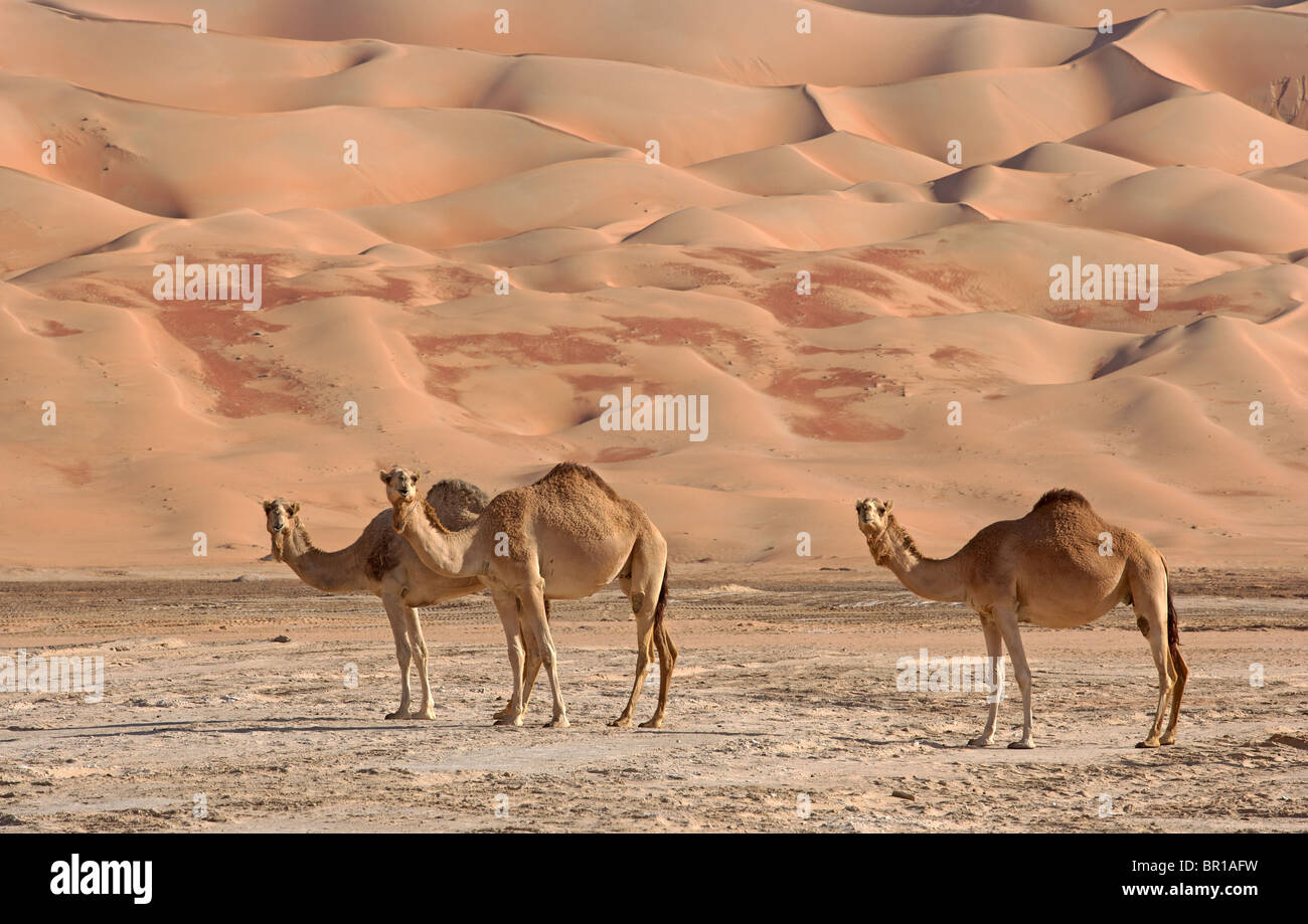 Camels in the Empty Quarter. Straddling Oman, Saudi Arabia, the UAE and Yemen, this is the largest sand desert in - Stock Image