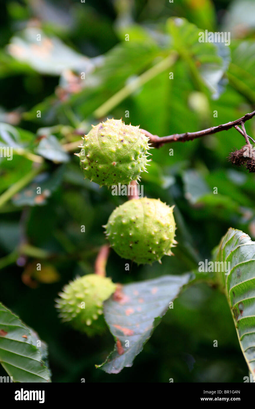 Horse Chestnuts in their spiky cocoon growing on the tree in early September Stock Photo