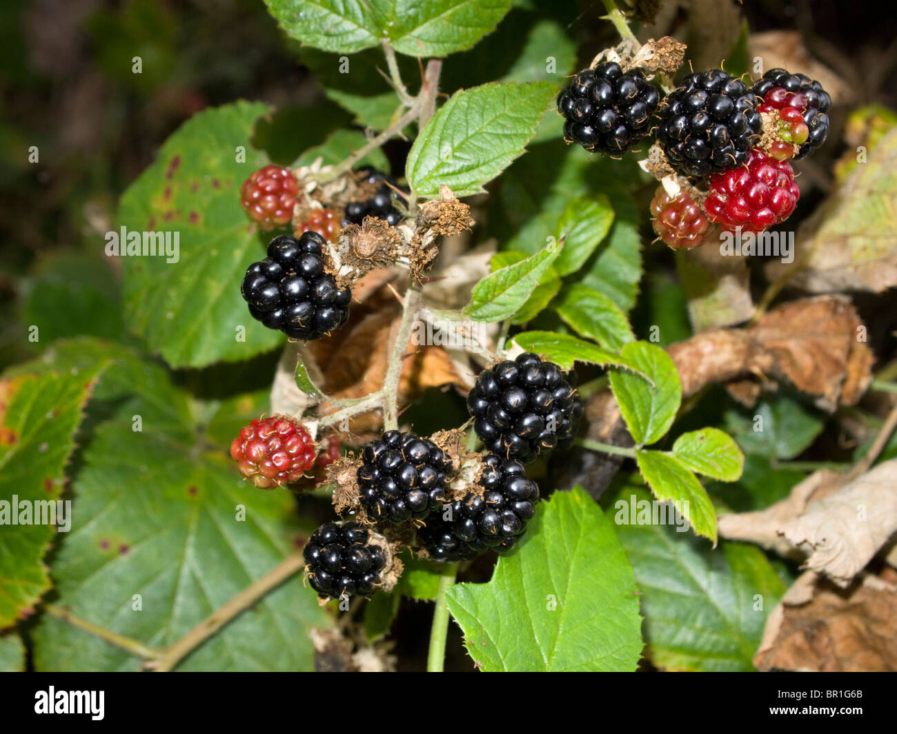 Blackberry bush with ripe and unripe blackberries - Stock Image