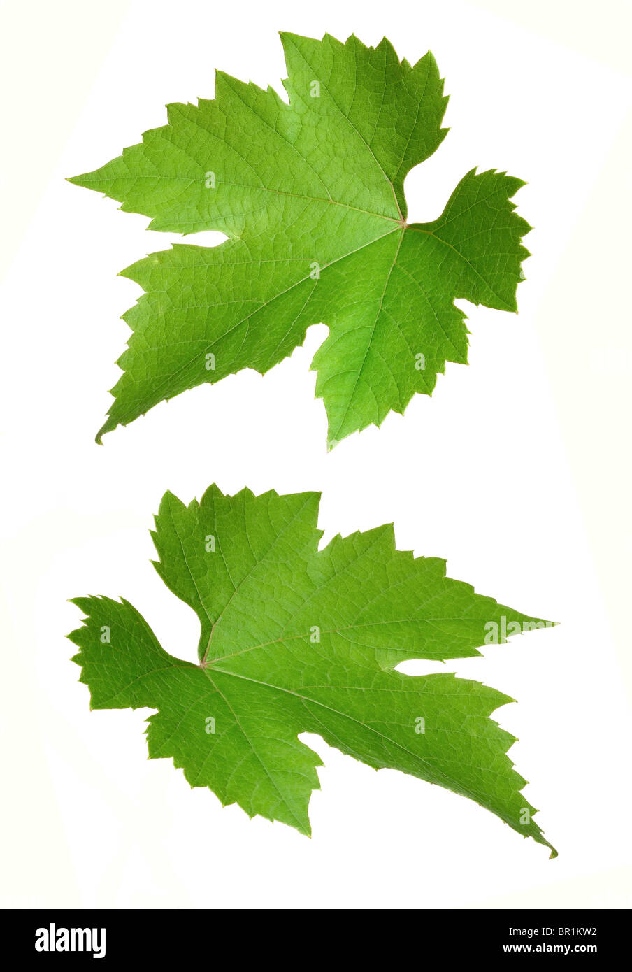 Grape Vine leaves - Stock Image