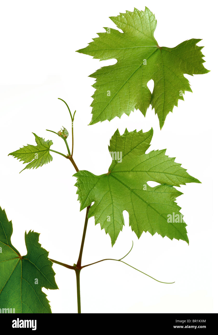 Grape vine leaves and shoot - Stock Image