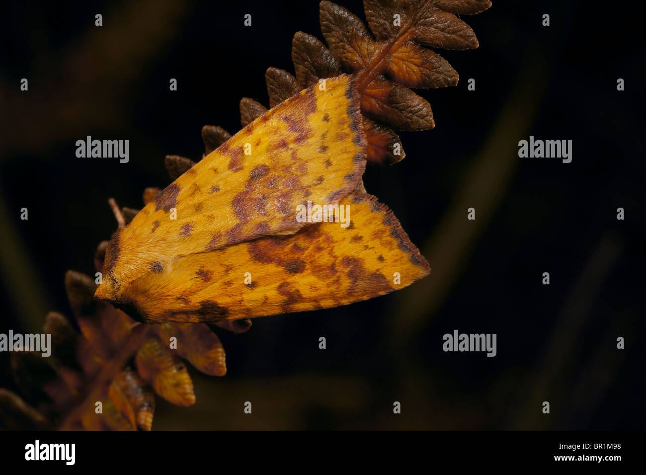 Pink Barred Sallow, Xanthia togata moth Fen Bog nature reserve North Yorkshire, UK - Stock Image