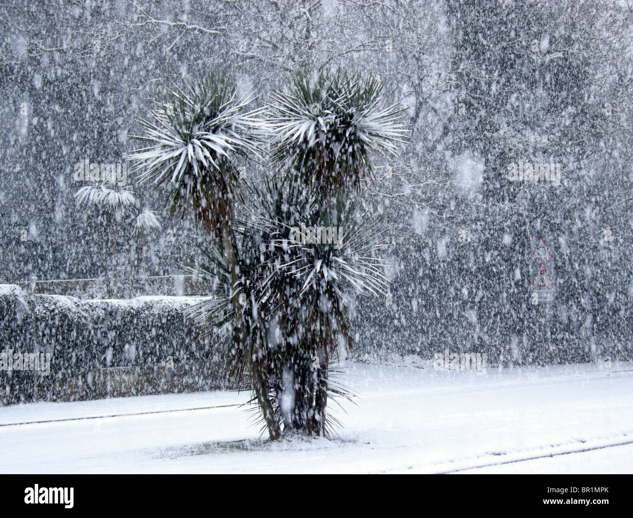 Cornish palm tree in a snow storm - Stock Image
