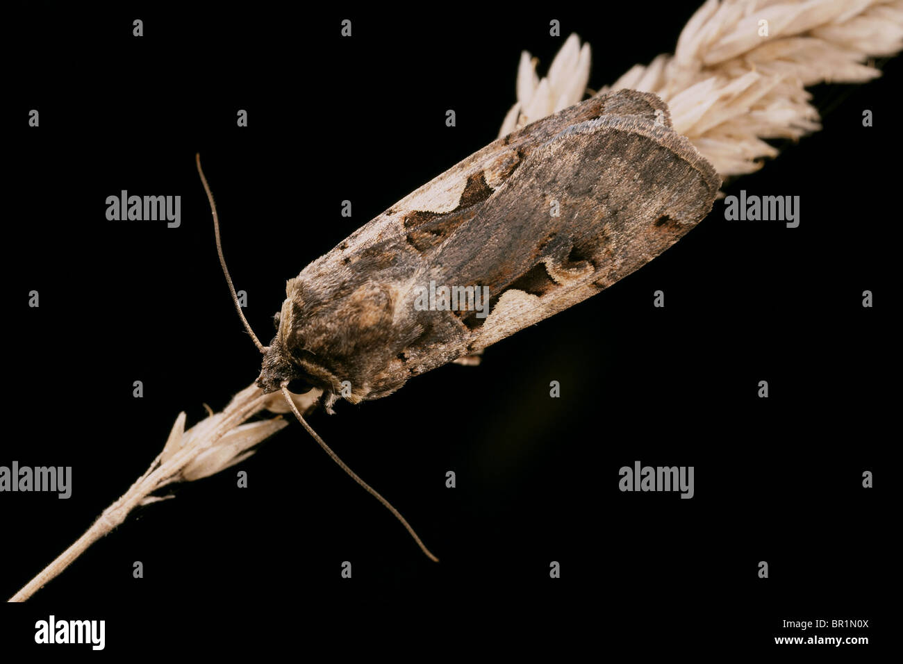 Setaceous Hebrew Character, Xestia c-nigrum moth - Stock Image