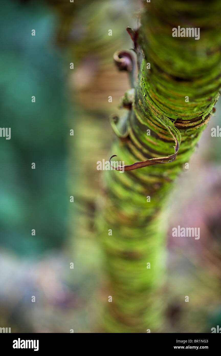 Prunus Rufa, Himalayan cherry tree bark - Stock Image