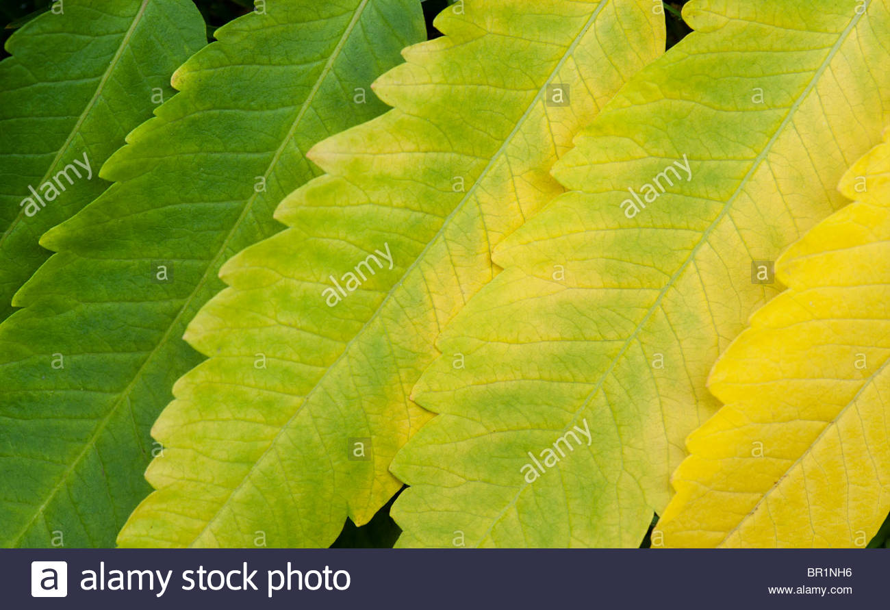 Rhus Succedanea. Wax tree leaf pattern. Leaves changing colour in the autumn - Stock Image