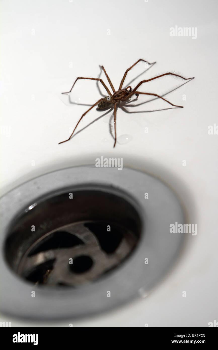 House / Bath Spider: Tegenaria Duellica (AKA Tegenaria Gigantea) next to plughole  - Stock Image