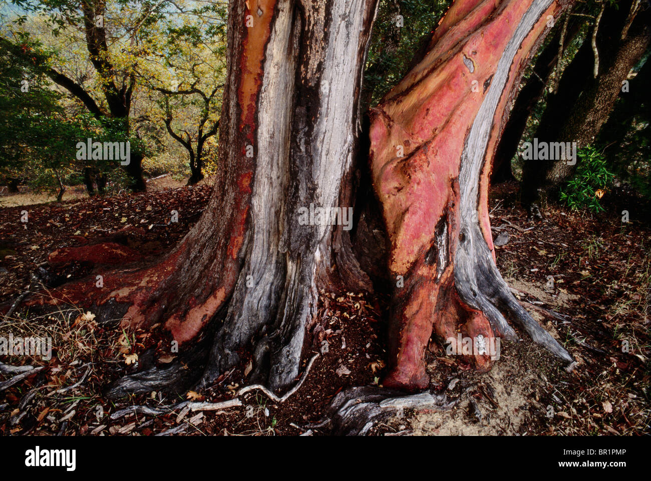 Landscape, Old madrone tee trunk in a California State Park - Stock Image
