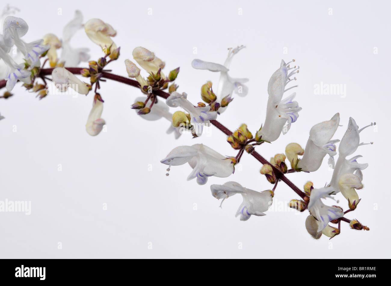 Plectranthus argentatus (Silver Plectranthus), Flower. Stock Photo