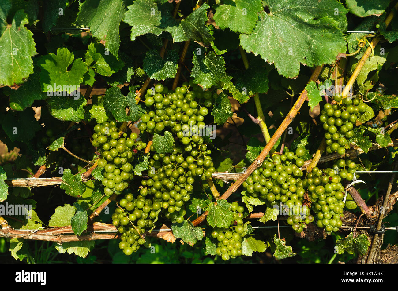 Green Grapes on vines in a Vineyard in Beamsville, Ontario Canada - Stock Image