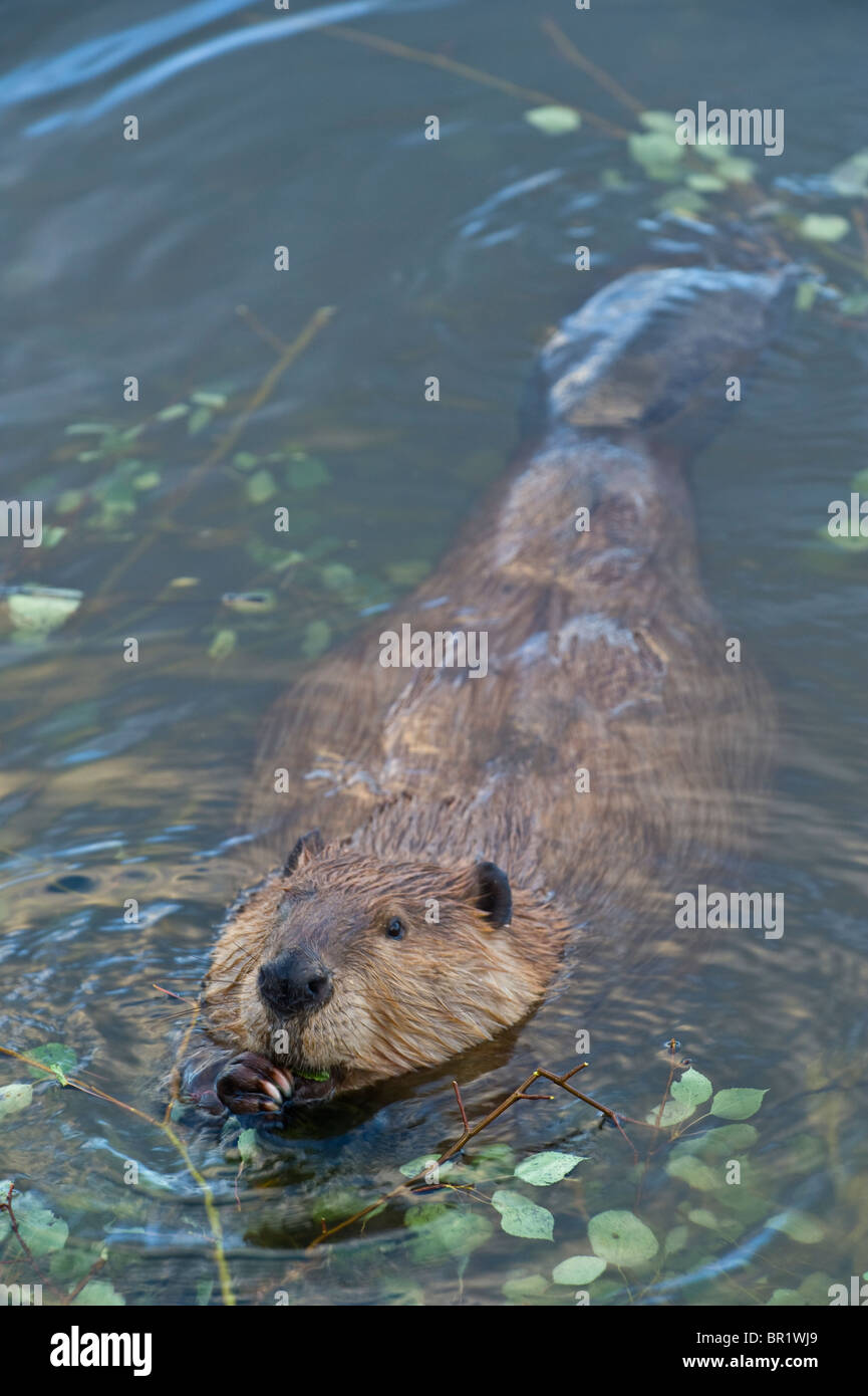 A vertical image of a wild Canadian beaver - Stock Image
