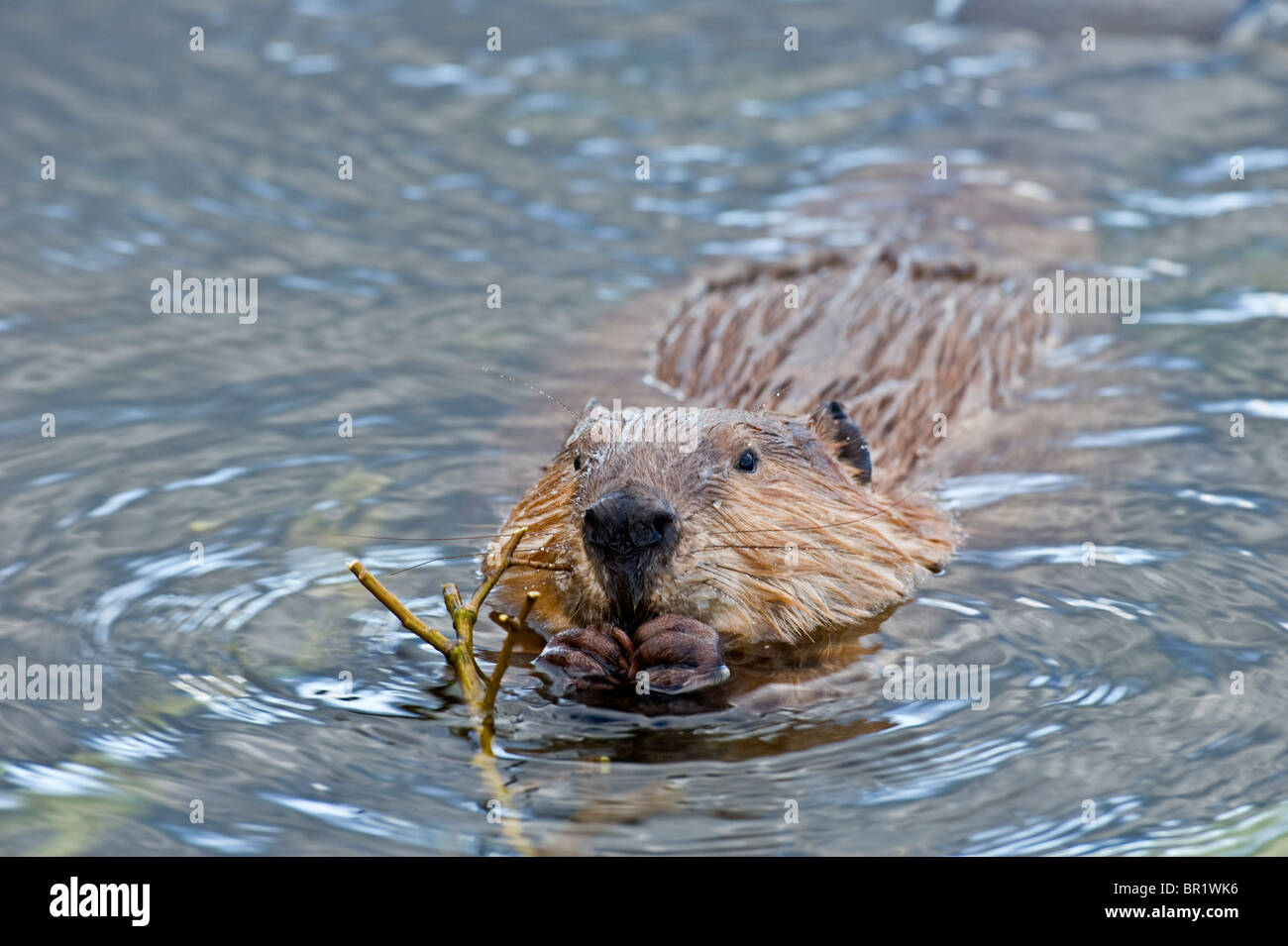a wild canadian beaver in the water feeding stock photo 31389546 Beaver in Pushing Water a wild canadian beaver in the water feeding