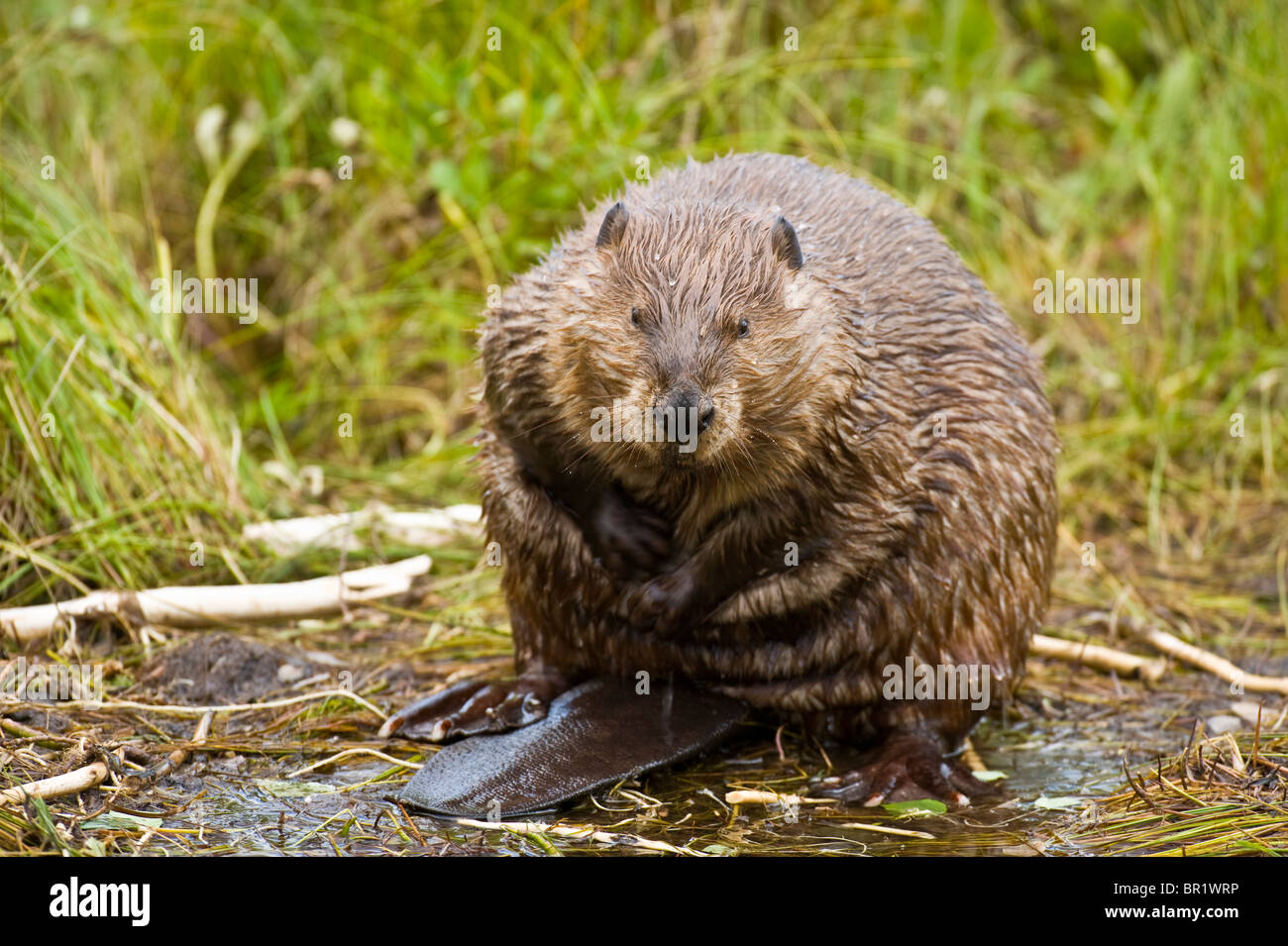 An beaver sitting on his rear end scratching and rubbing his fur - Stock Image