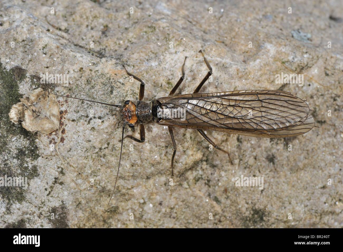 Stonefly (Perla marginata) - female on a rock near a river - Cevennes - France - Stock Image