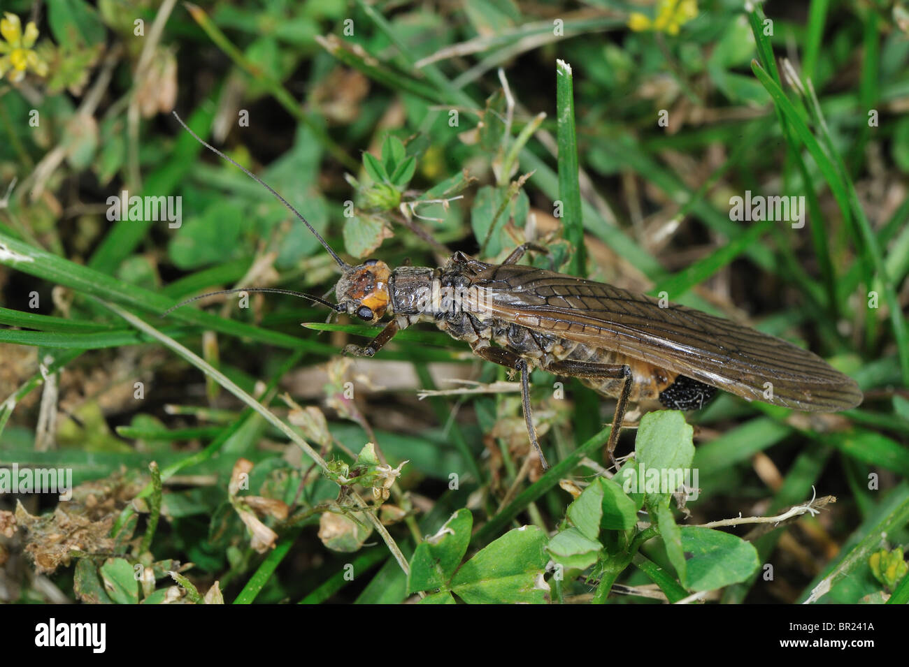 Stonefly (Perla marginata) - female carrying her eggs in a meadow close to a river - Cevennes - France - Stock Image